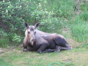 We are a perfect mid-hill resting point for many Anchorage moose.