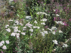 Yarrow in the field