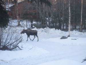 Moose in Our Yard 2014