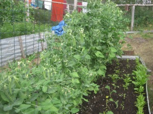 Vegetable Gardens--McCarthy Style
