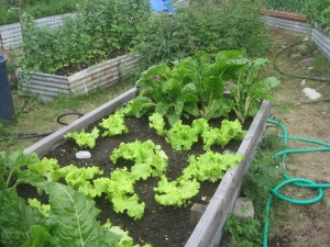 Maria Shell Vegetable Garden--McCarthy Style